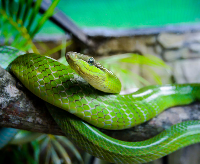 Close-up of green snake on branch