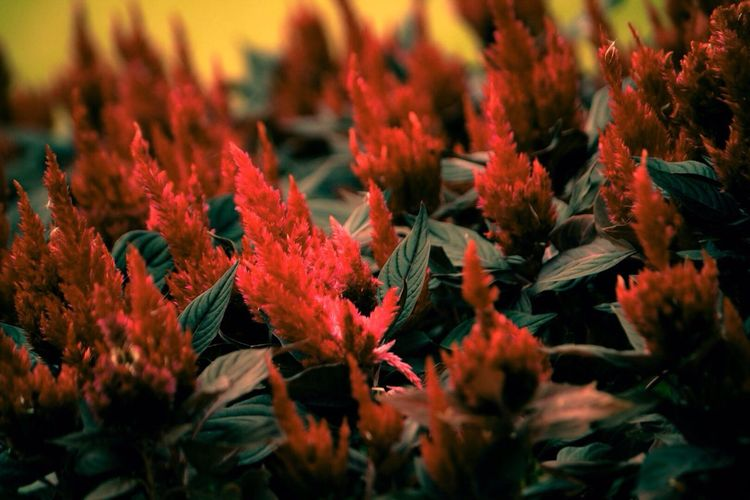 Plants with red panicles