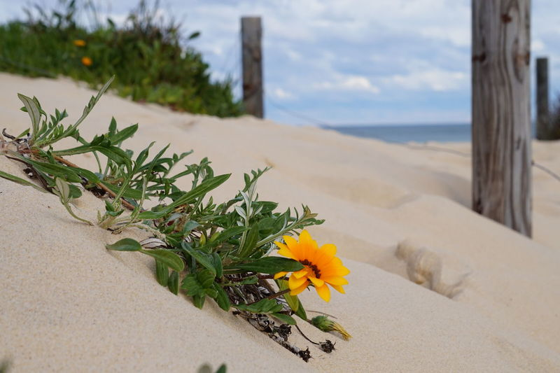 sand flower Beach Beauty In Nature Close-up Dry Condition Flower Nature Sand Sea Seascape Shore Water Yellow