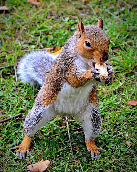 Squirrel Grey Squirrel One Animal Animal Themes Animals In The Wild Wildlife Grass Full Length Close-up Focus On Foreground Field Zoology Feeding  Feeding Animals Feeding Squirrels Green Color Day Tranquility No People Looking The Great Outdoors - 2017 EyeEm Awards
