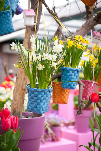 Narcissus tazetta daffodil colorful decoration Daffodils And Tulips Easter Narcissus Tazetta L Tulips White Daffodils Basket Close-up Daffodil Daffodil Decoration Daffodils Decoration Decoration With Flowers Easter Decoration Easter Decoration Ideas Flower Flower Head No People Plant Potted Plant Yellow Daffodils