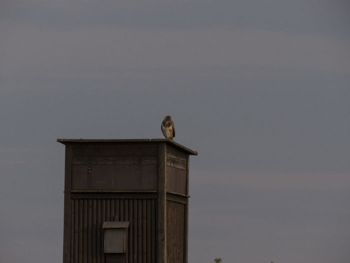 Animals Buzzard  Day Low Angle View Nature No People Outdoors Sky