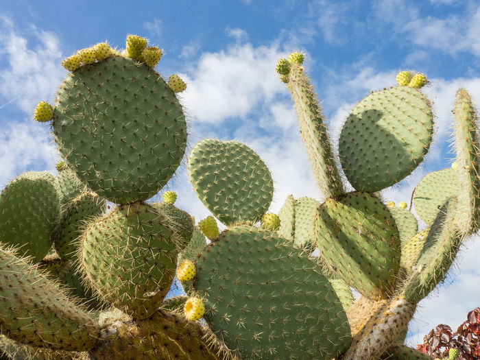 Close-up of prickly pear cactus growing against sky