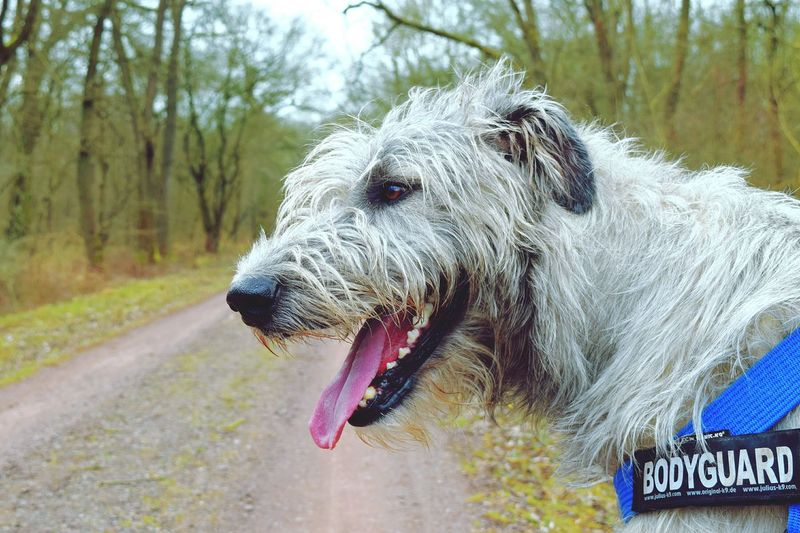 One Animal Animal Body Part Close-up Outdoors Cearnaigh Irish Wolfhound Dogs Of EyeEm Dogslife Dogs Of Winter Dog Of The Day Forest Deep In The Woods Dogwalk Biederizer Busch Bokeh Domestic Animals Animal Themes
