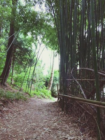 Tree Forest Tree Trunk Nature Outdoors Day Growth No People Tranquility Green Color Beauty In Nature Bamboo Grove Bamboo - Plant Tree Area Scenics Branch Travel Destinations Tranquil Scene Italia Beauty In Nature Nature