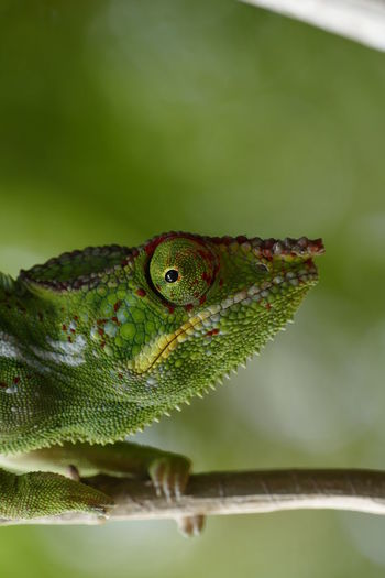Animal Themes Animal Wildlife Animals In The Wild Beauty In Nature Chameleon Close-up Day Green Color Leaf Nature No People One Animal Outdoors Reptile Selective Focus
