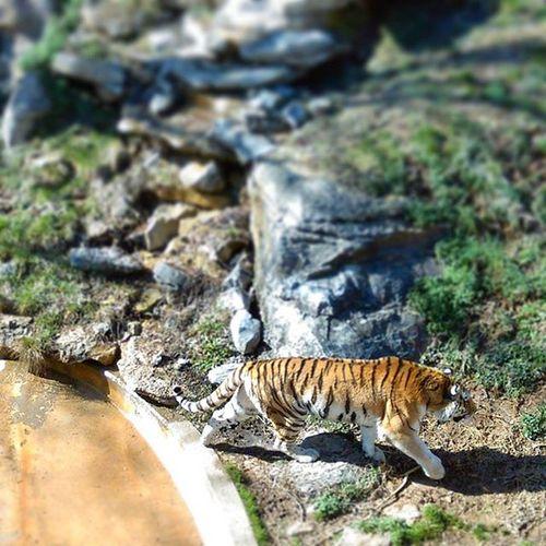 Omg, BIG Kitty !! Amur 🐅 🐯 taken @Louisvillezooofficial Louisville Zoo Russian Tigers Habitat on Internationalpolarbearday PhonePhotography AprilinProgress Color Wild