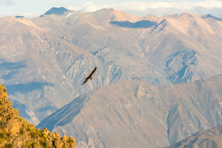 Colca Canyon Condors Cóndor  Flying High Beauty In Nature Bird Condor Andino Day Flying Gliding In Flight Landscape Mountain Mountain Range Nature No People Outdoors Scenics Soaring Tranquility