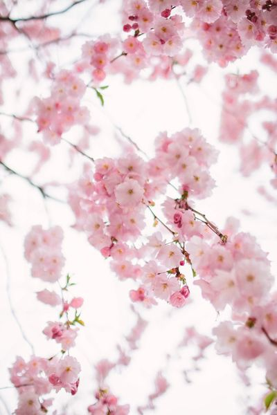 City Softness Tenderness Springtime Spring Summer Summertime Flower Flowering Plant Plant Pink Color Fragility Blossom Freshness Beauty In Nature Tree Springtime Vulnerability  Nature Close-up Cherry Blossom No People Branch Growth Cherry Tree Twig Day