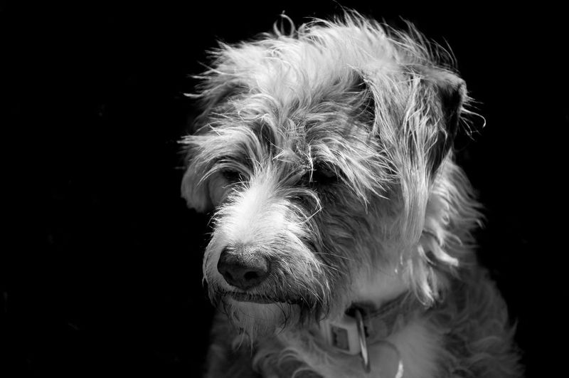 my dog Animal Head  Black And White Blackandwhite Photography Dog Domestic Animals Pets Portrait