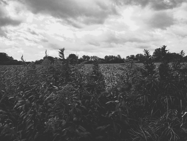 Cloud - Sky Sky Growth Agriculture Outdoors Day No People Field EyeEmNewHere The Week On EyeEm Blackandwhite Black And White Bnwphotography Bnw Fields And Sky Black & White Bnw_collection Dry Corn Dry Field Fields Corn Field Field Dry Trees And Sky Nature