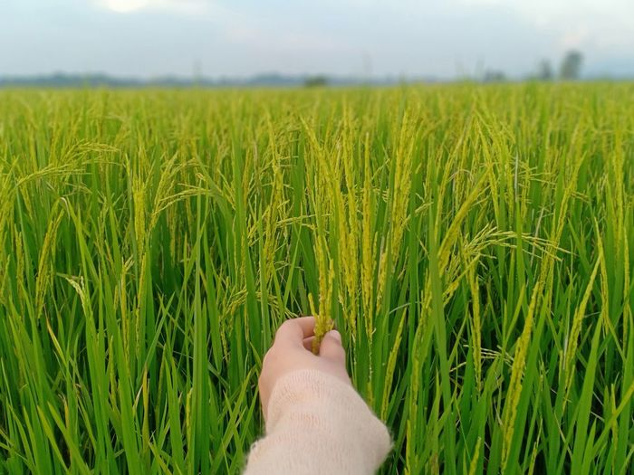 Cropped image of woman touching wheat ear at agricultural field