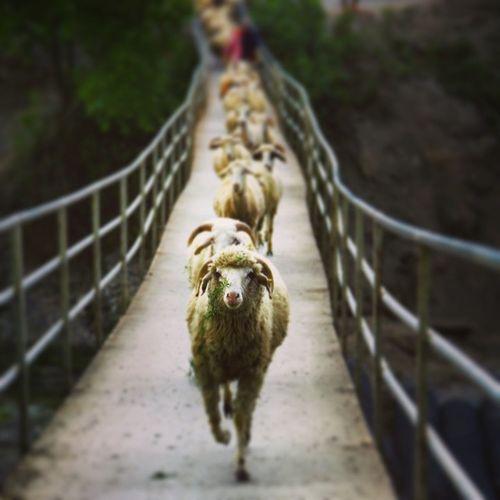 Koyun Koc Sürü Sürüpsikolojisi sheep