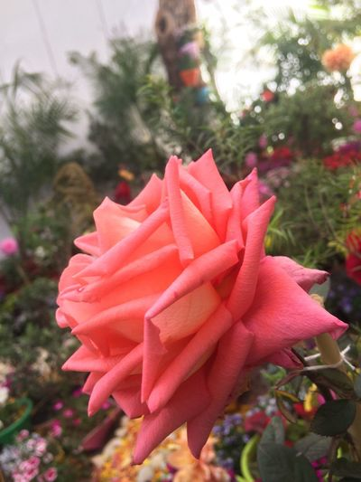 Flower Rosé Beauty In Nature Freshness Chandigarh Love