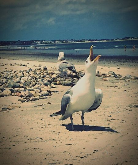 Animals In The Wild Animal Themes Bird Nature Sea Beach Water Animal Wildlife No People Sand Seagull Outdoors Beauty In Nature Large Group Of Animals Sky Day Seagulls And Sea Seagulls Mine Tranquil Scene Beautiful Nature Duxbury Beach Beachphotography Lovethebeach EyeEm Selects