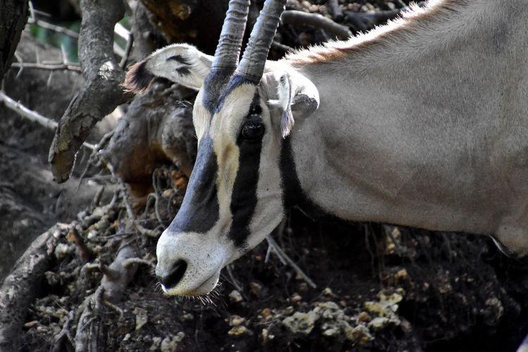 Animal Animal Body Part Animal Head  Animal Themes Animal Wildlife Antler Day Focus On Foreground Herbivorous Horn Land Mammal Nature No People One Animal Oryx Outdoors Vertebrate Wildlife