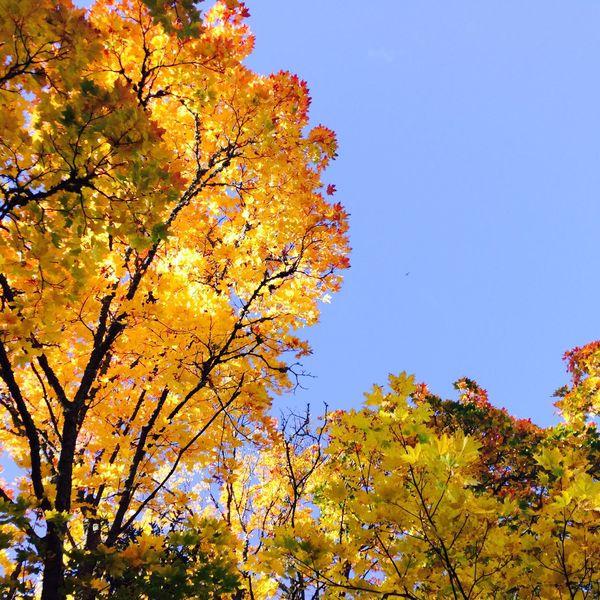 Autumn Autumn Colors Rudens Trees Koki Sky Debesis Lapas Lauki Sadday Clear Sky Beauty In Nature Nature