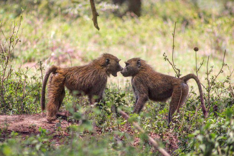 Monkeys on field at lake nakuru national park