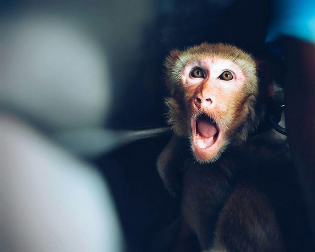 Mouth Open Looking At Camera Headshot Beard Monkey Monkey Face Animal Themes Animal Photography