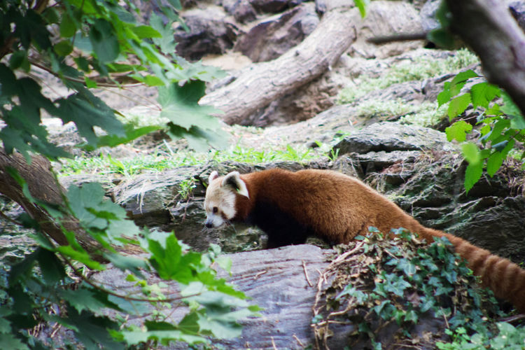 Side view of red panda on rock