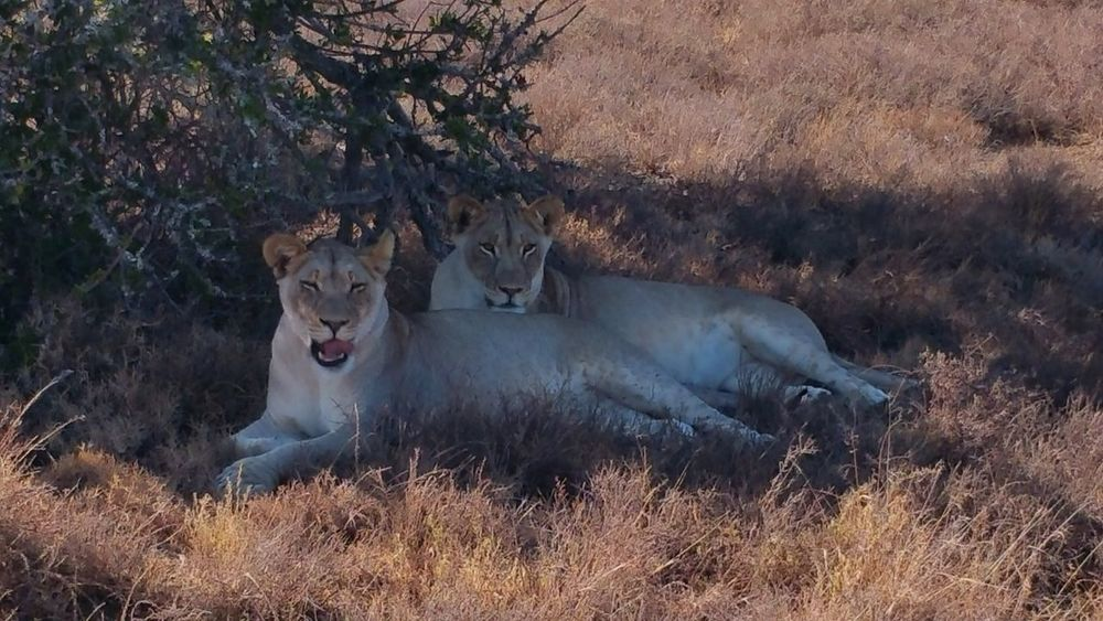 South Africa. Lioness South African Photography South Africa Savannah Lioness Safari Animals Safari Park Safari Addoelephantpark Animal Photography