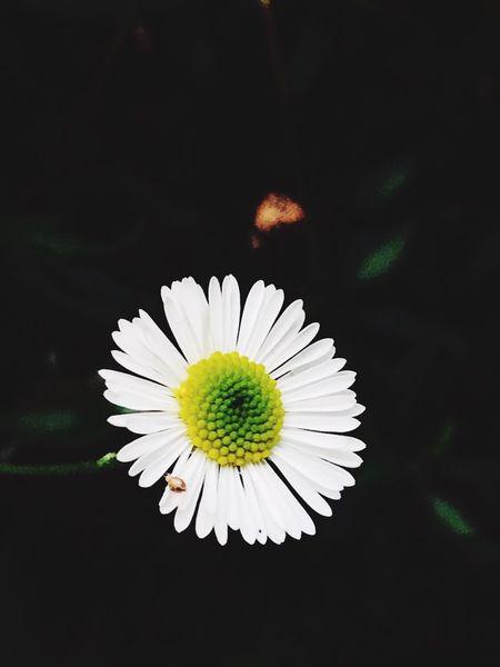 Flower Flowering Plant Petal Vulnerability  Inflorescence Freshness Flower Head