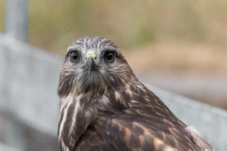 Close-up portrait of a common buzzard