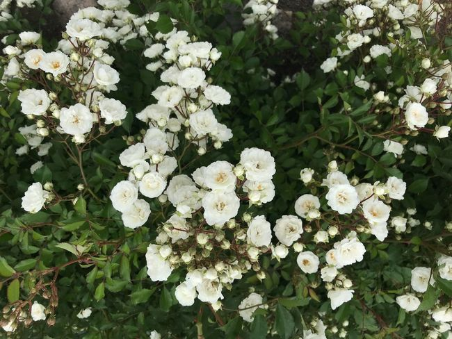 Mini white roses White Flower Belmont Summer White Roses Flower Flowering Plant Plant Growth Beauty In Nature Freshness White Color Nature Plant Part Green Color No People Outdoors Flower Head Vulnerability  Leaf Day