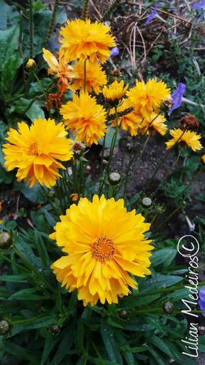 Flower Yellow Flower Head Fragility Nature No People Viagem Peru Vacations Cajamarca-Perú Reflexão  Plaza Paisagem Nature