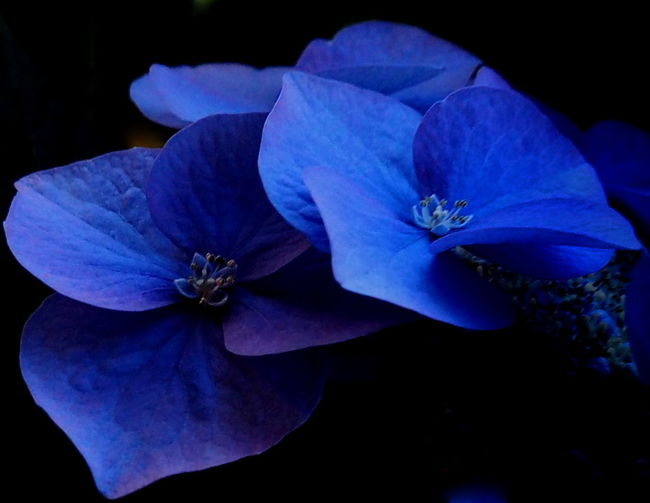Close-up of purple flower blooming against black background