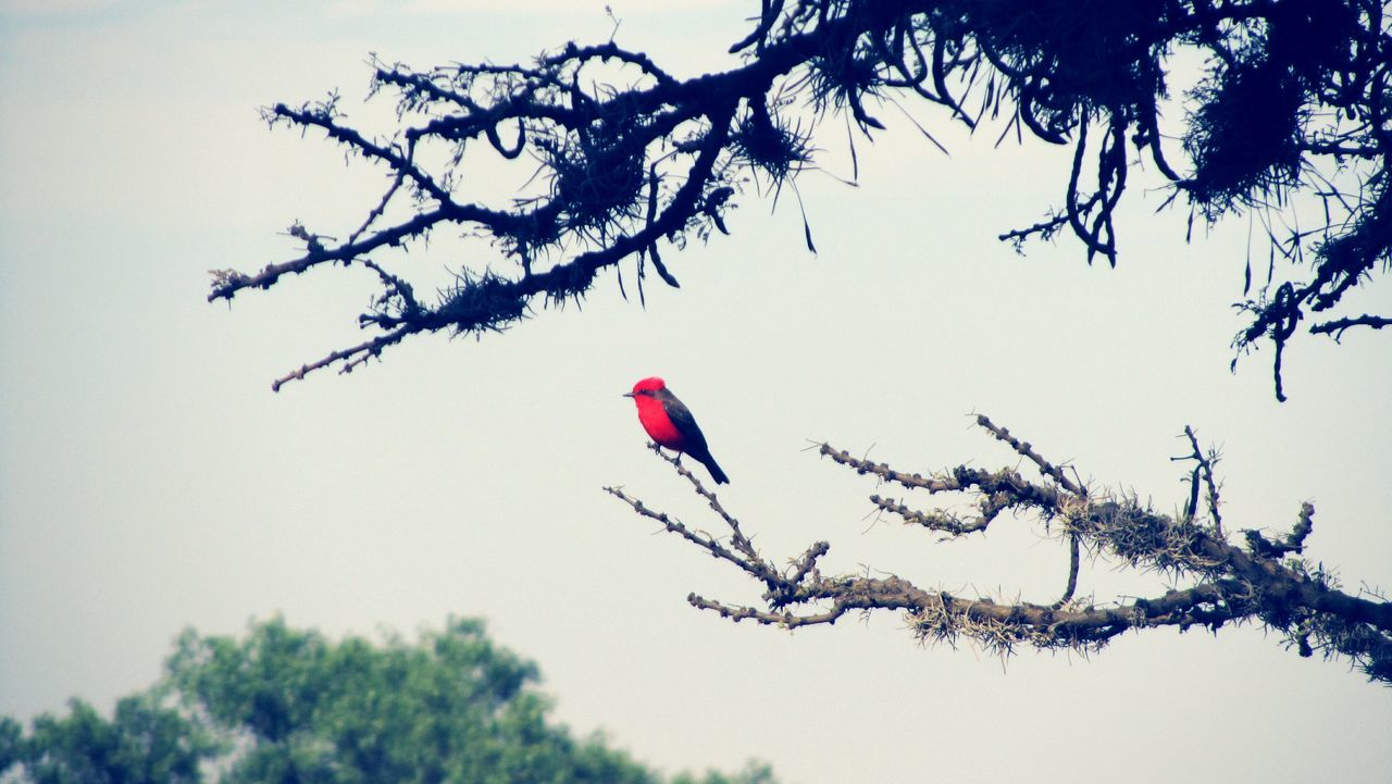 tree, nature, red, branch, animals in the wild, low angle view, day, one animal, winter, outdoors, beauty in nature, no people, animal themes, bare tree, bird, flying, sky, close-up