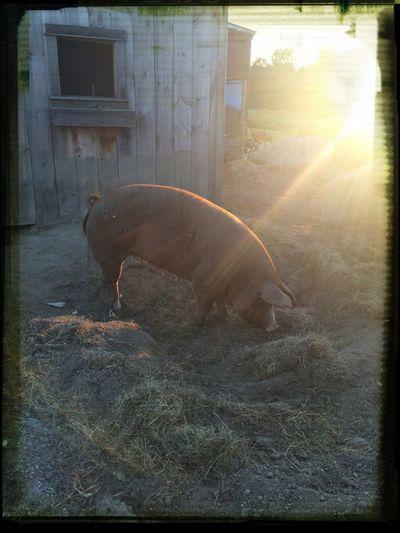 At'll do pig!