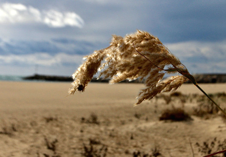 Close-up of dry plant on land against sky