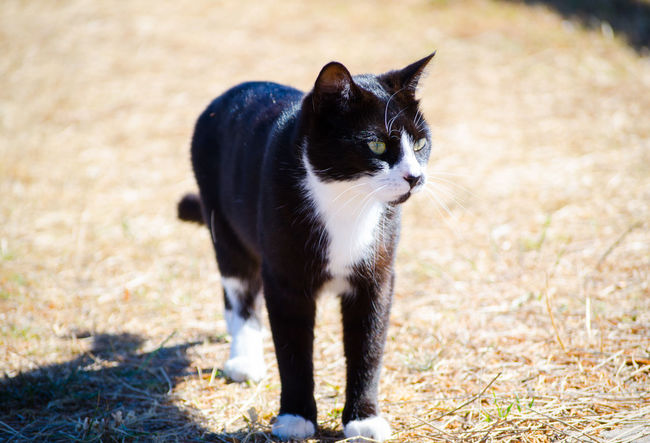 Cute black cat with white face standing outdoor. BLackCat Standing Adorable Attractive Day Domestic Cat Feline Female Fluffy Friendly House Cat Mouth Open Kitten Little Lovely Mammal One Animal Outdoors Pets Playful Portrait Pretty Shorthair Walking Watching White Face
