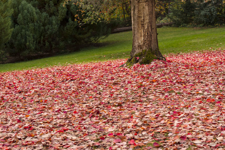 Fallen Autumn leaves Tree Plant Tree Trunk Trunk Nature Autumn Leaf Tranquility Beauty In Nature Day Park Scenics - Nature Tranquil Scene No People Leaves Outdoors Trunk Tree Red Color Blanket Fall Leaves Horizontal Composition