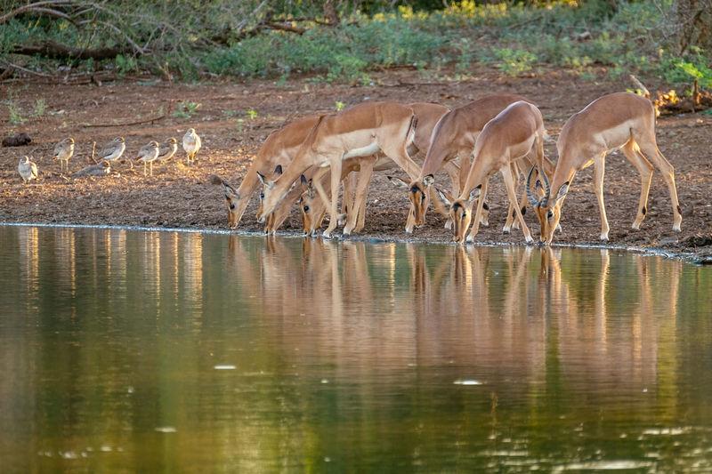 Deer And Birds At Lake