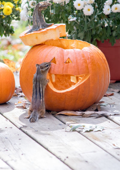 chipmunk checks out this grinning jack o lantern as a possible new home