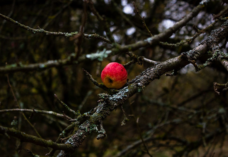 red apple. autumn. Apple Greyhoneyandgold Photography Naturephotography Nature Outdoors Woods Forest Amazingplaces Ourplanetdaily Artofvisuals Natgeo Adventure Intothewild Photographer Roamtheplanet Create Moodygrams Nature_perfection December Fotografie Autumn Tree Branch Fruit Winter Close-up