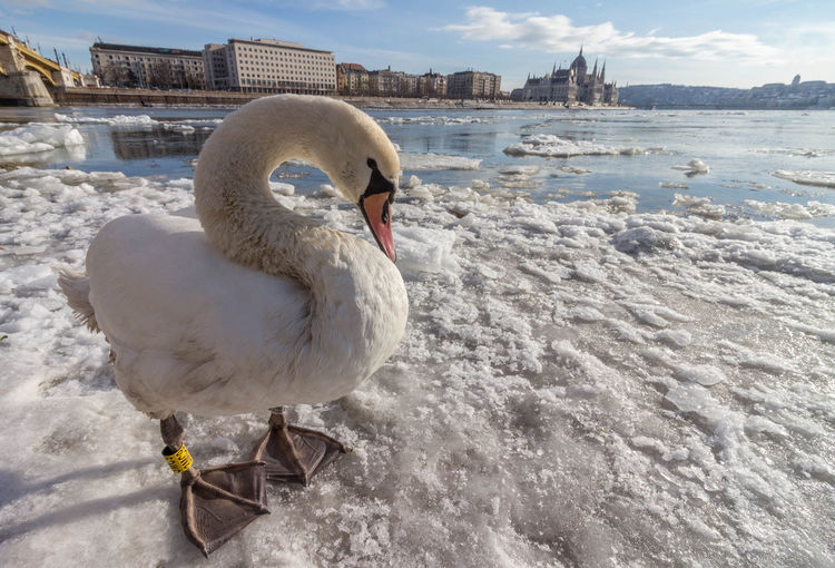 Animal Themes Beach Bird Cold Temperature Day Frozen Ice Nature No People Outdoors Sky Snow Swan Water Winter