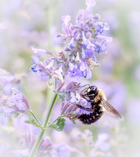 Bumble bee pollinating the catmint in my perennial garden. Flower Insect Bee Nature No People Purple Flower Purple Purple Flowers Perennial Catmint Bumlebee Outdoors Pollination Close-up Plant Beauty In Nature Flowerporn EyEmNewHere EyeEmNewHere