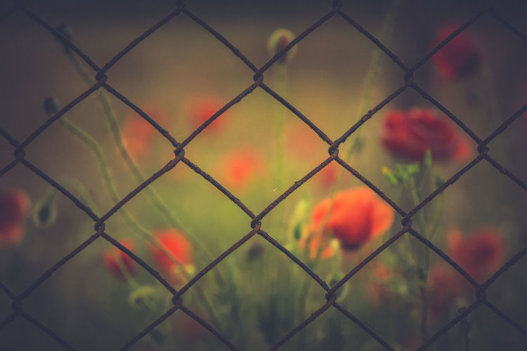 Plant Fence No People Nature Day Poppy Flowers Outdoors