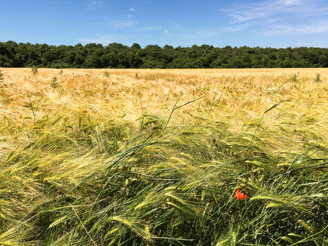 Fields Agriculture Beauty In Nature Cereal Plant Day Field Flower Grass Growth Klatschmohn Landscape Nature No People Outdoors Plant Poppies  Wheat Autumn Mood