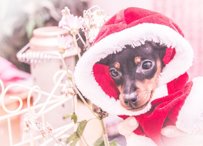 Close-Up Of Dog Wearing Santa Hat