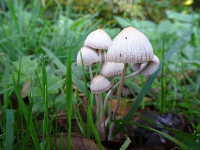 Cluster Grass Group Of Mushrooms Inedible Inedible Mushrooms Mushrooms Non-edible Mushroom Outdoors Outside Outside Photography