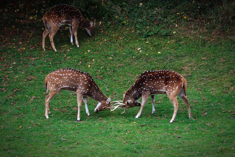 Deer Fighting In Grass