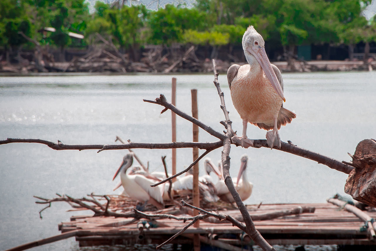 bird, animal themes, animals in the wild, animal wildlife, one animal, day, nature, focus on foreground, perching, no people, outdoors, water, beauty in nature, pelican, mourning dove