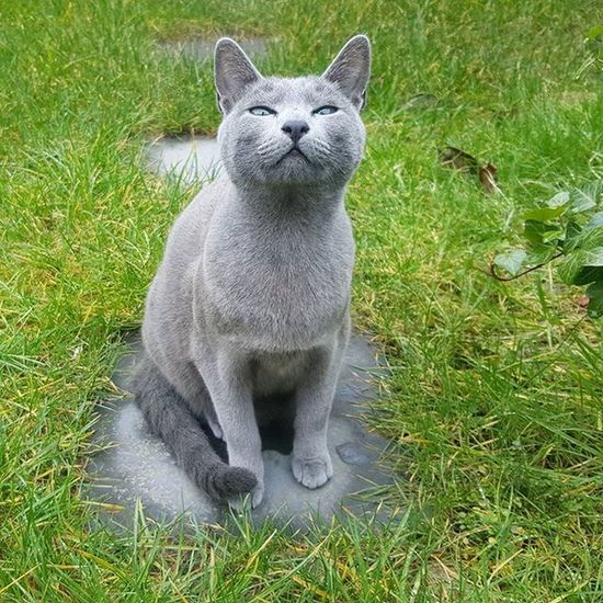 Smell you later Alligator! Have a wonderful weekend everybody!! 😄🌞🐾💚 Russianbluesofinstagram Russianbluekitten RussianBlue Russianbluecat Instacat Instakitty Greycat Silvercat Bluecat Cat_features ロシアンブルー Propetsfeature Catstocker Catstock Excellent_cats Rosyjskiniebieski Russischblau Gats Gatos Azulruso Catsmosh N1cecats Thedailykitten Kot Kotek kotka hussycatspetoftoday