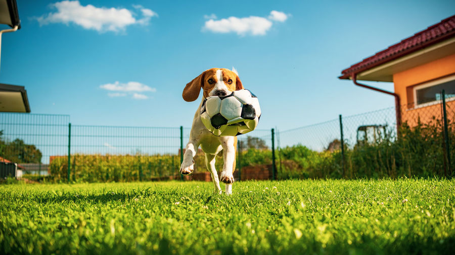 View of a dog with soccer ball on field