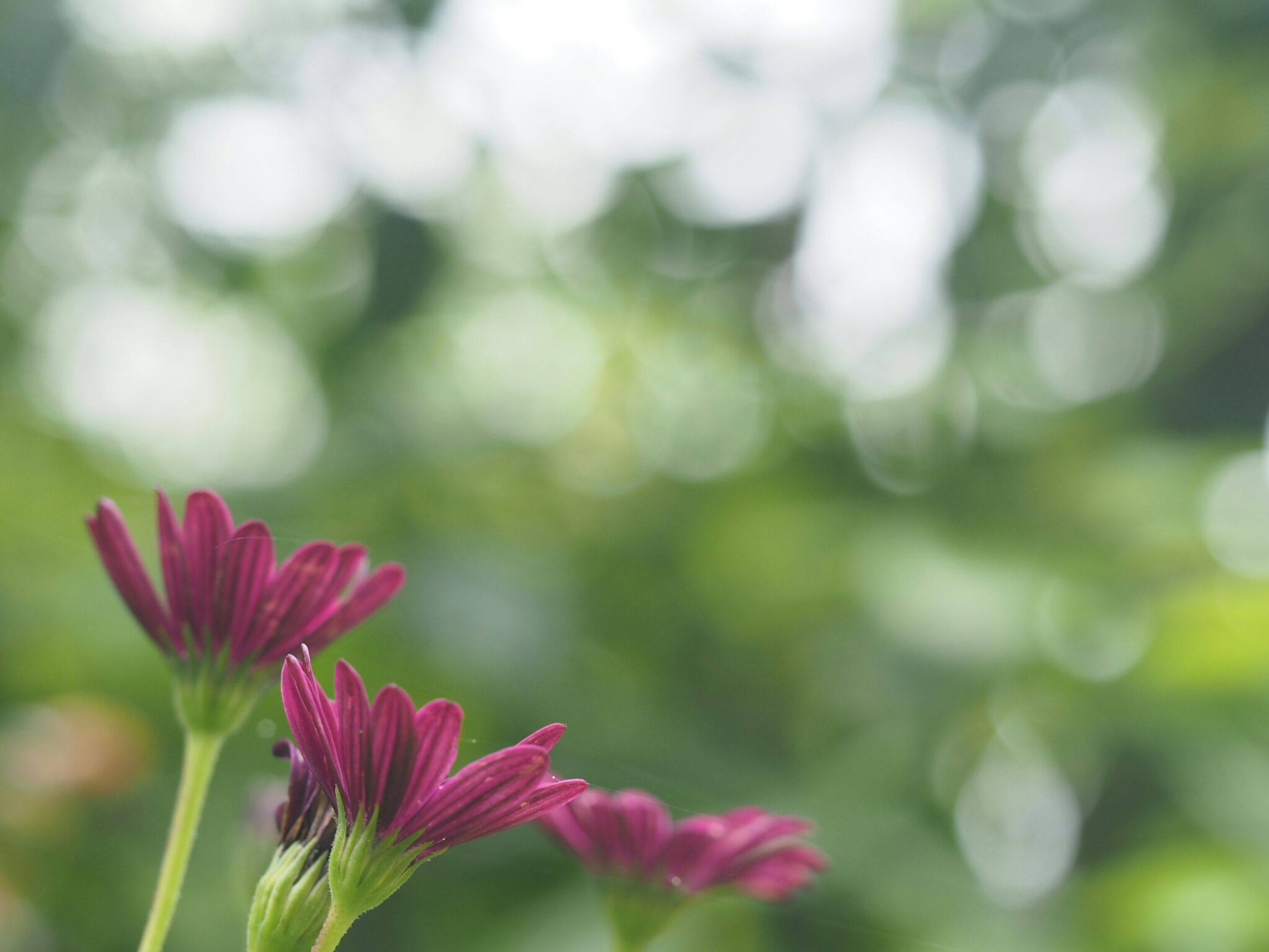flower, focus on foreground, freshness, fragility, growth, petal, beauty in nature, close-up, flower head, nature, blooming, plant, pink color, stem, selective focus, in bloom, park - man made space, outdoors, day, bud