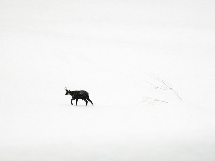 Alone in the snow Gran Paradiso Nature_collection Nature EyeEm Selects Animal Animal Themes Mammal Domestic Animals Animal Wildlife Nature Copy Space Winter Cold Temperature Snow Group Of Animals Domestic Vertebrate No People Side View Livestock Silhouette White Color Sky Herbivorous
